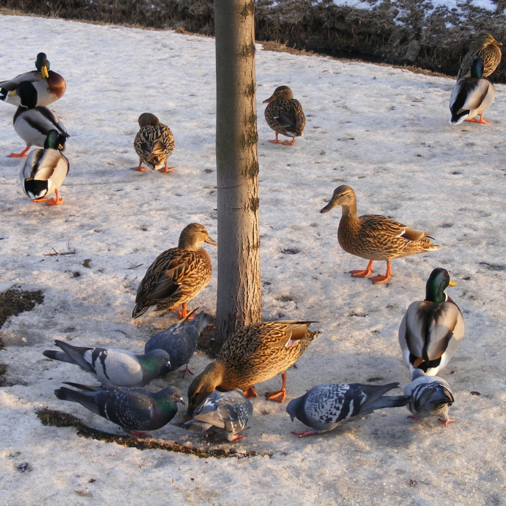 Kaczki nad Balatonem zimą